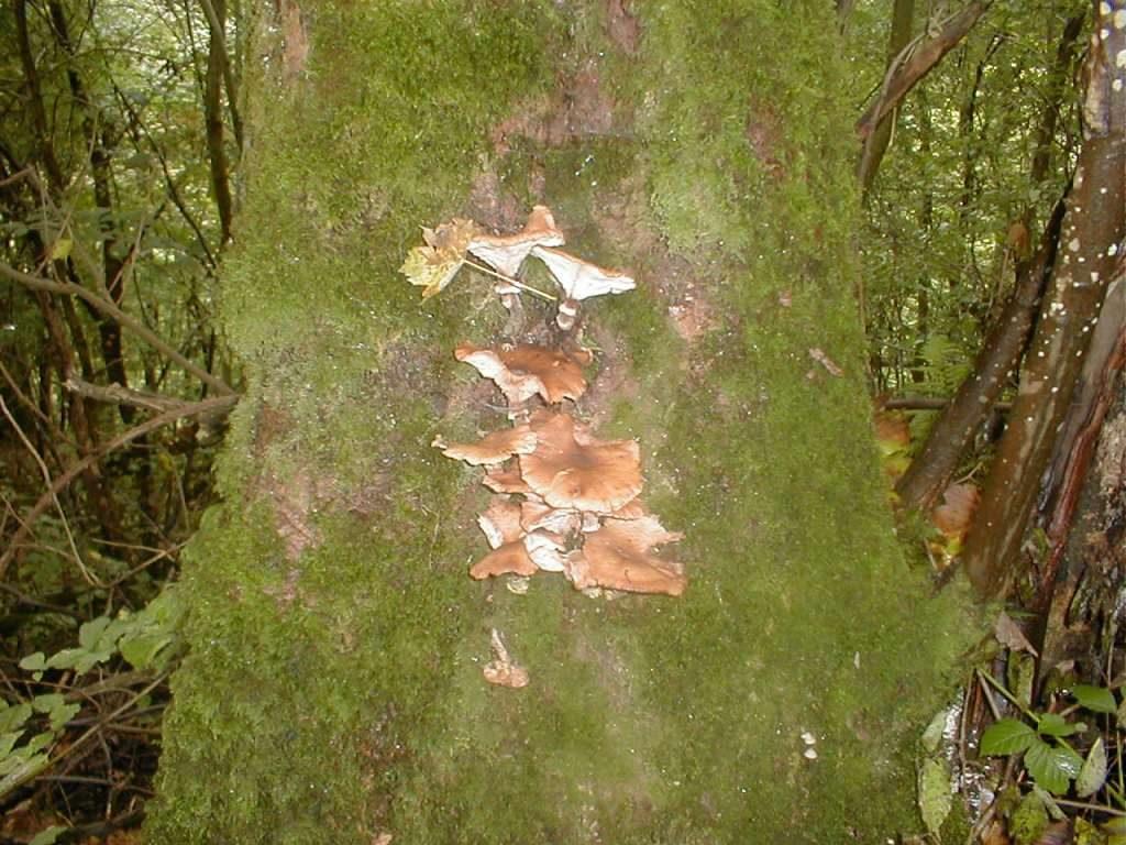 Armillaria mellea (honey fungus)