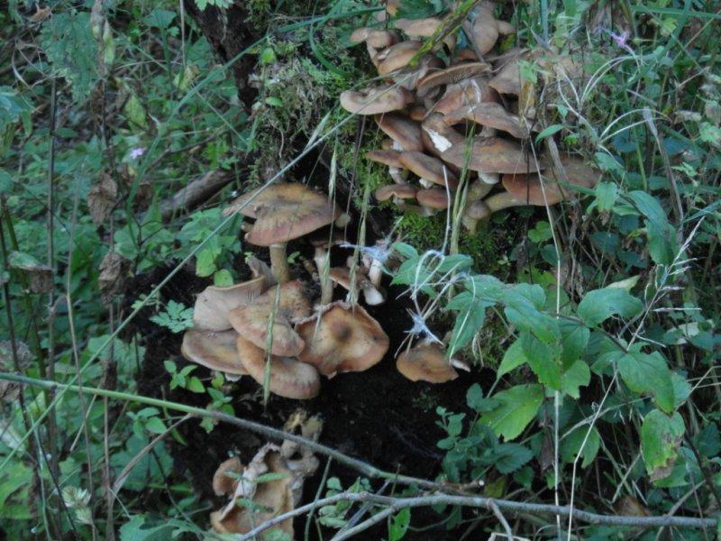 Armillaria species