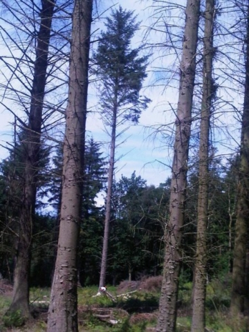 Large tree felling