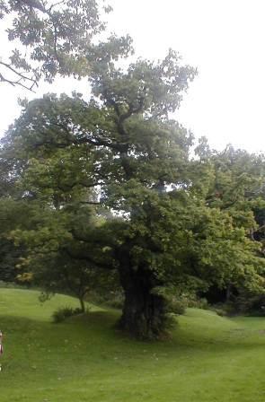 Cadzow Oak