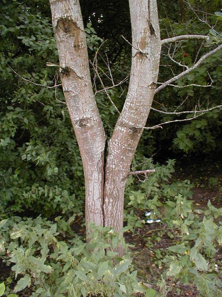 Co-dominant Stems