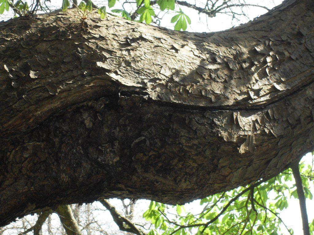 Horse Chestnut Hazard Beam