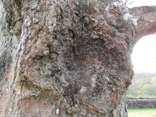impressive-bark-canker