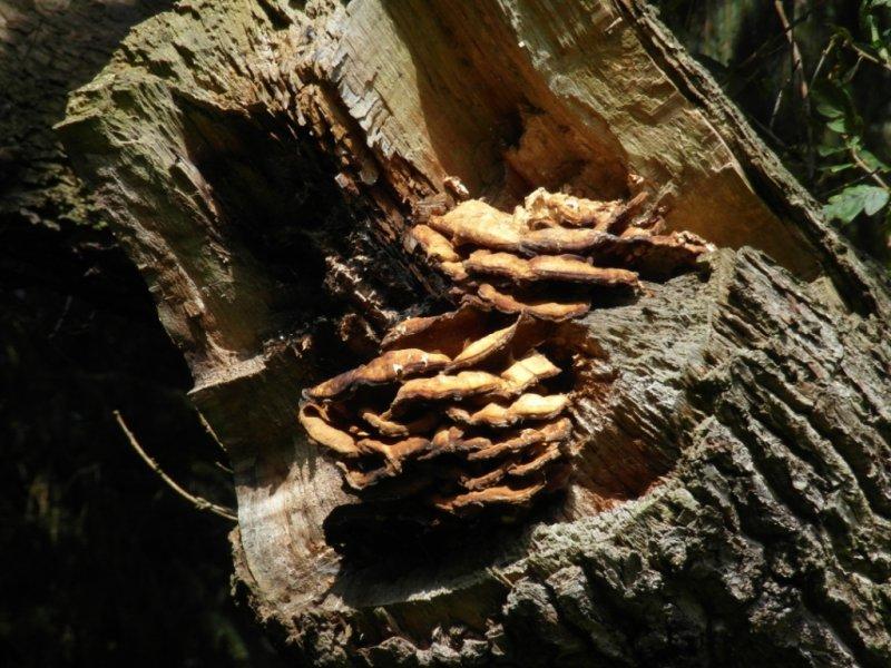 Laetiporus sulphureus-Chicken of the woods