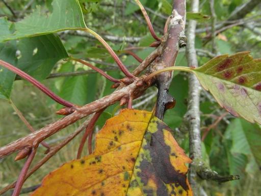 monilinia-laxa-effects-cherry
