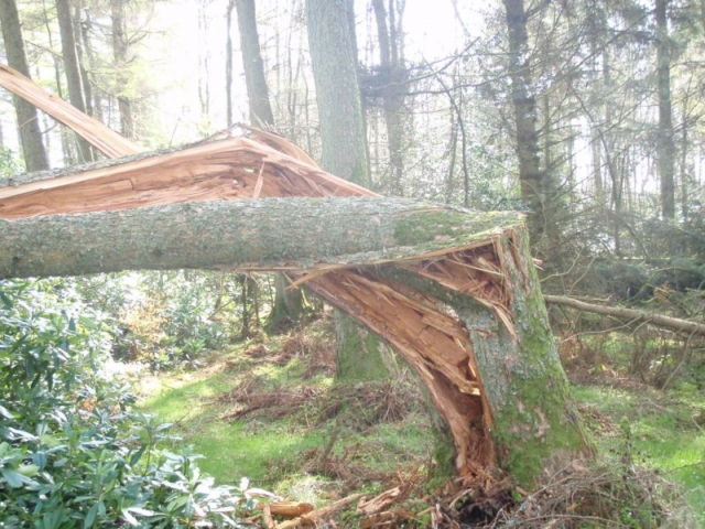 Structural failure of Larch