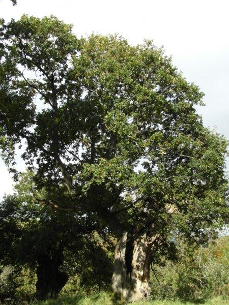 phoenix-tree