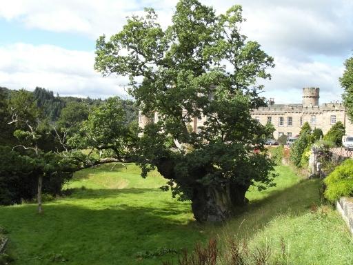 retrenched-pedunculate-oak