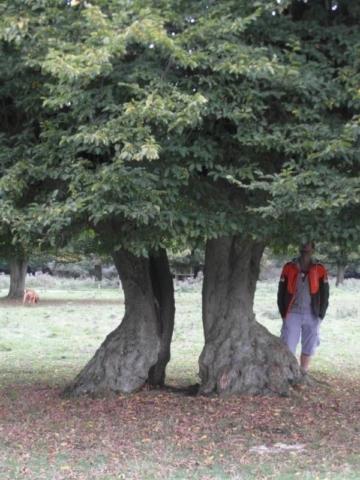 Decayed Hornbeam (one tree)