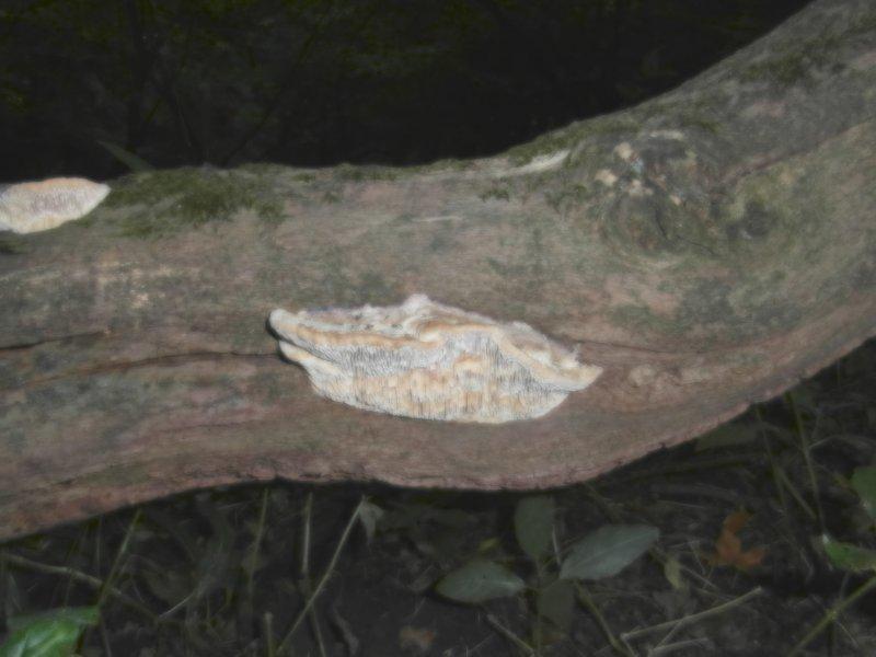 Daedalea quercina