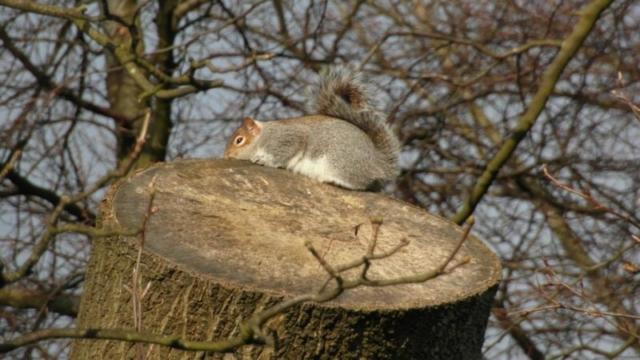 Sunbathing squirrel